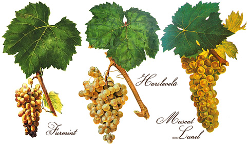 Tokaji grape varieties